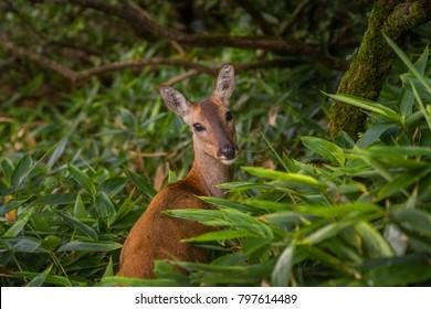 Deer of Halla Mountain, Jeju Island, South Korea
