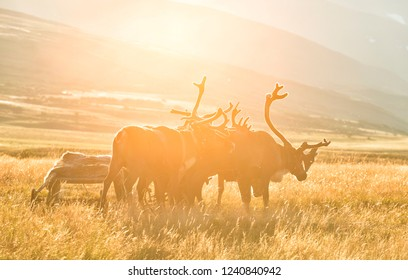 Deer harnessed to the sledges, lit by the rays of the sun at sunset