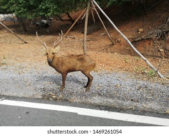 Deer have horns on the side of the road.