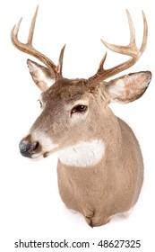Deer head front view