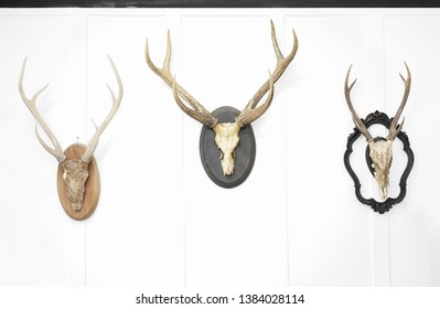 Deer head on the wall. Taxidermy animal of a deer head and vintage frame on the white wooden wall. Vintage style.
