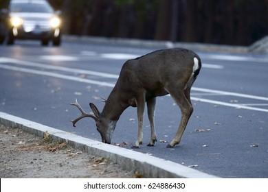 Deer with Headlights