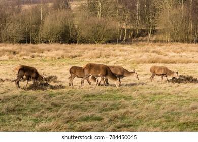 Deer heard grazing