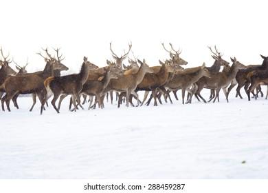 A deer herd in fields winter