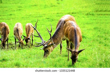 Deer herd grazing on meadow. Deer herd meadow grazing. Deer herd on deer farm