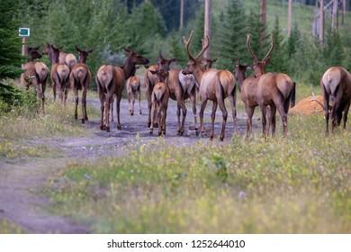 Deer herd on a road in Canmore Alberta