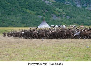 A deer herd returns to the reindeer herding camp. Yamal, Russia