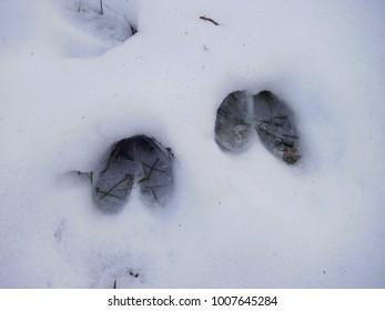 deer hoof prints in snow closeup