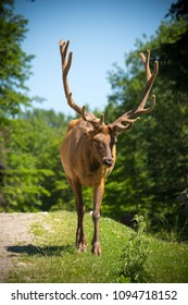 Deer with horns in the forest