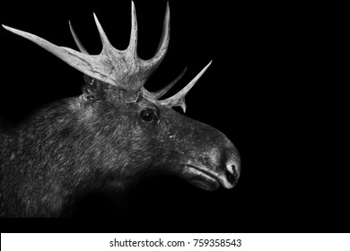 Deer isolated on black white background