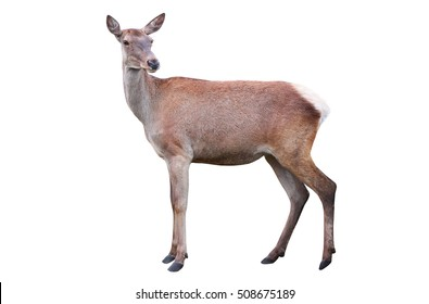 deer isolated on a white background