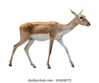 deer isolated white background