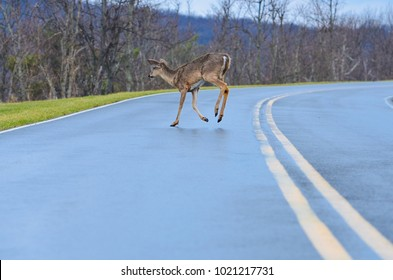 Deer jump on the asphalt road inviting a very imminent accident