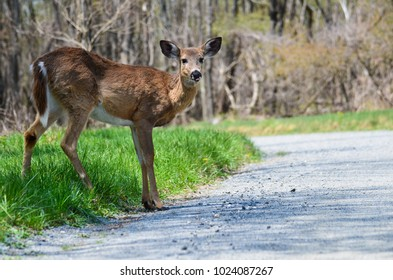Deer jumps over the asphalt road inviting a very imminent accident