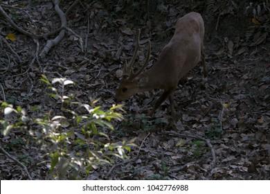Deer of Kaziranga