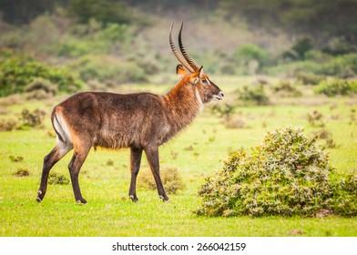Deer in Kenya, Africa