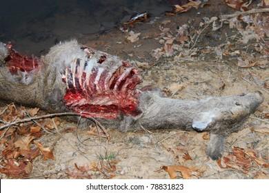 deer killed by wild animal