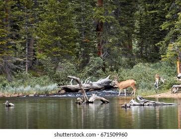 Deer at the lake