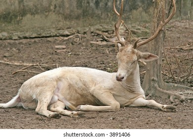 A deer with large antlers taking a rest