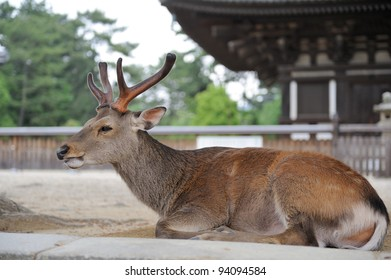 Deer lies on ground near the temple, Nara, Japan