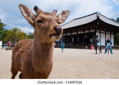 Deer live freely in Nara, Japan.