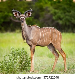 Deer looks on the camera in the Moremi Game Reserve (Okavango River Delta), National Park, Botswana