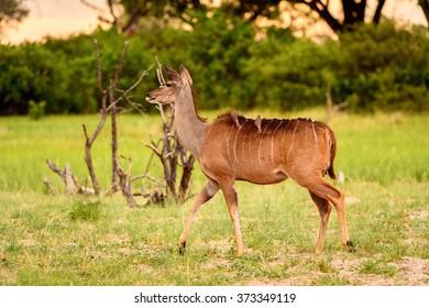 Deer looks on the camera in the Moremi Game Reserve (Okavango River Delta), National Park, Botswana