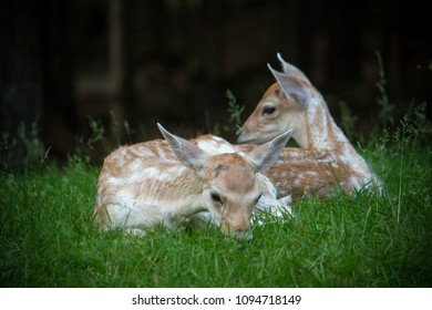 Deer lying on the green