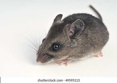 deer mouse at a 45 degree angle to viewer white background