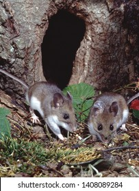 Deer Mouse (Peromyscus Maniculatus) cute