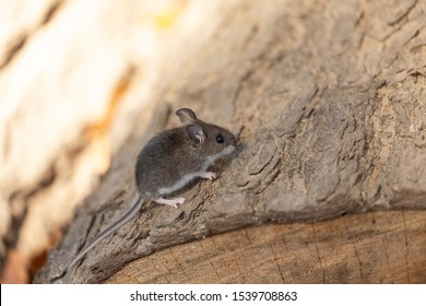 The deer mouse (Peromyscus maniculatus) north American native rodent, often called the North American deermouse