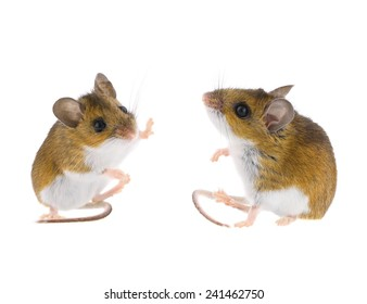 Deer Mouse Sitting - Peromyscus Field Mice High Five