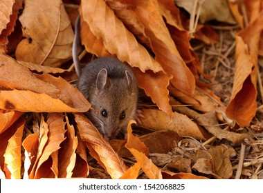 The deer mouse(Peromyscus maniculatus) is rodent, common  most species  often called the North American deermouse.