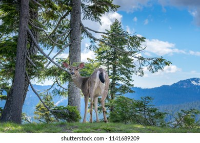 Deer in Mt. Rainier National Park