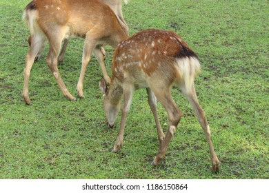 Deer in Nara Park. Japan.Deer is cherished as a divine force of God