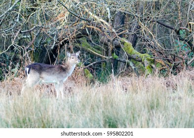 Deer near Bolderwood, New Forest National Park