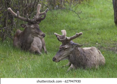 Deer with new horns in the National Park of Abruzzo in Italy