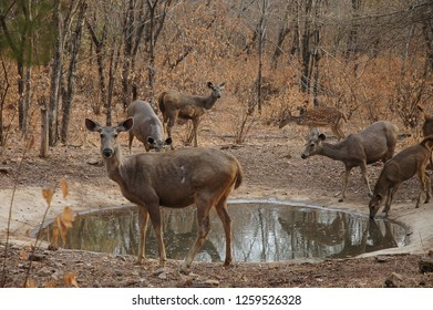 Deer next to a pond of water in the Ranthambore National Park, Rajasthan, India