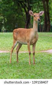 deer on a green field