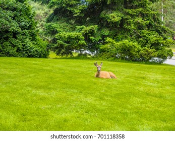 Deer on the lawn in the urban environment
