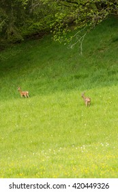 Deer on pasture in Tirol / Austria