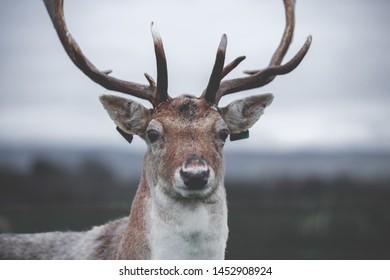 Deer on the Phoenix Park, Dublin