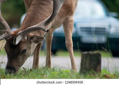 Deer on the road In UK