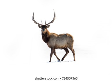 deer on white background