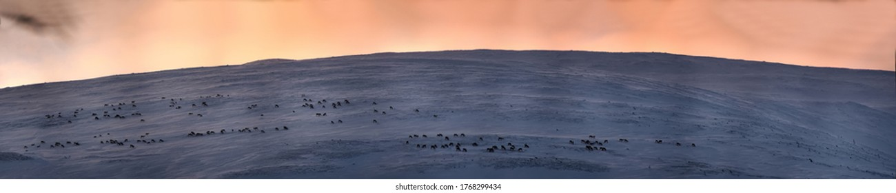 Deer pasture. Herds of reindeer feed on the top of bald hill (fjeld, tunturi) in wintertime. At top of mountain wind blows away, less snow and easier to dig out the hooves of deer moss. Scandinavia