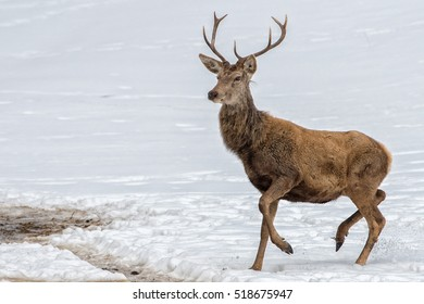 deer portrait while looking at you in winter time