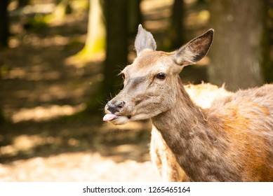 Deer putting its tounge out in the woods