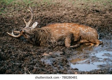 Deer resting and sleeping in mud. Expressive portrait of dead wild animal lying in dirt and puddle. Mammal furry horned male creature dying at wild nature in sludge. Sick poor helpless fawn suffering