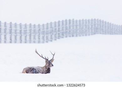 Deer resting in the snow in winter season with beautiful landscape in background