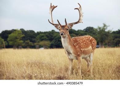 A deer in Richmond Park